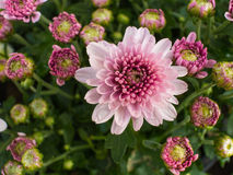 Biały Purpurowy chryzantema kwiatu kwitnienie Zdjęcia Stock