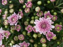 Biały Purpurowy chryzantema kwiatu kwitnienie Fotografia Stock