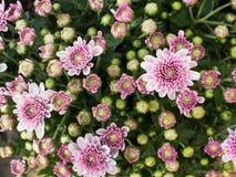 Biały Purpurowy chryzantema kwiatu kwitnienie Obrazy Stock