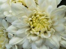Biały Purpurowy chryzantema kwiatu kwitnienie Obraz Royalty Free