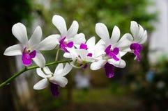 Biały purpurowy dendrobium Fotografia Stock