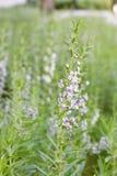 Biały purpurowy fireweed kwiat na tle zielona trawa Obraz Royalty Free