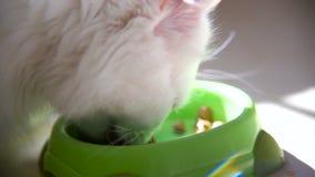 Biały puszysty kot greedily je od pucharu zdjęcie wideo