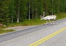 Biały renifer na drodze Fotografia Stock