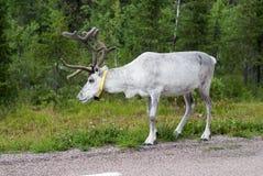 Biały reniferowy pasanie blisko drogi, Szwecja Fotografia Royalty Free