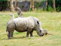 Biały rhinocerous Fotografia Royalty Free