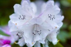 Biały rododendronowy praevernum Fotografia Royalty Free