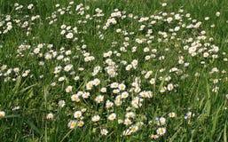 Biały rumianku kwiat na polu obrazy stock