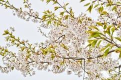 Biały Sakura kwiat Zdjęcia Royalty Free