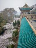 Biały Sakura kwiat w Wuhan uniwersytecie Fotografia Royalty Free