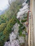 Biały Sakura kwiat w Wuhan uniwersytecie Obraz Stock