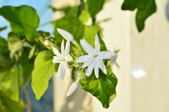 Biały salowy kwiat fotografia royalty free