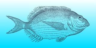 Biały sargo w profilowym widoku po woodcut ilustraci od 16th centur, seabream lub Zdjęcia Royalty Free