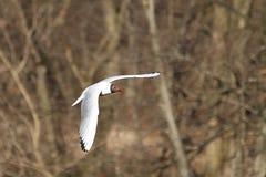 Biały seagull Obrazy Royalty Free