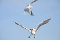 Biały seagull chwyta jedzenie w niebieskim niebie Obrazy Royalty Free