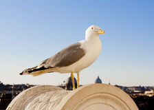 Biały seagull na kamieniu Obraz Stock