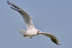 Biały Seagull w locie Zdjęcie Stock