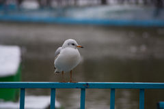 Biały seagull w zimie Fotografia Stock