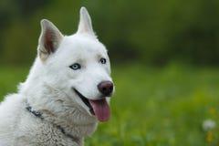Biały siberian husky smileing Zdjęcia Royalty Free