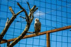 Biały sowa Zdjęcia Stock