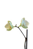 Biały storczykowi kwiaty Zdjęcia Royalty Free