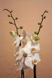 Biały storczykowi kwiaty Fotografia Royalty Free