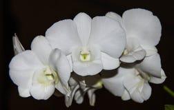 Biały storczykowy kwiat Fotografia Stock