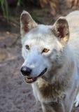Biały szary wilk Obrazy Royalty Free