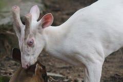 Biały szczekliwy rogacz Zdjęcie Royalty Free