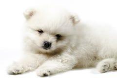 Biały szczeniak zdjęcia stock