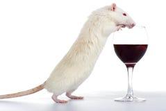Biały szczur Zdjęcia Royalty Free