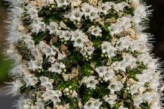 Biały Tajinaste, wyspy kanaryjska Fotografia Stock