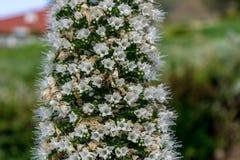 Biały Tajinaste, wyspy kanaryjska Zdjęcie Stock