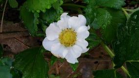 Biały truskawkowy kwiat Zdjęcie Stock