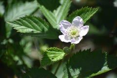 Bia?y truskawkowy kwiat obrazy royalty free