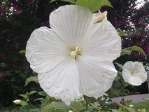 Biały tubowy kwiat Zdjęcia Stock