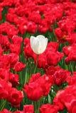 Biały tulipan Zdjęcia Royalty Free