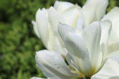Biały tulipan Obraz Stock