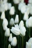 Biały tulipan Zdjęcia Stock