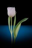 Biały tulipan - pionowy Fotografia Stock