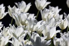 Biały tulipanu pole obraz royalty free