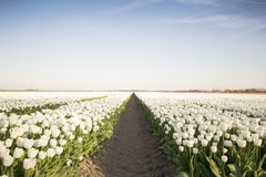 Biały tulipanu pole Ja Zdjęcie Royalty Free