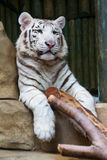 Biały tygrys Obrazy Stock