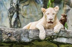 Biały tygrys. Obrazy Stock