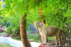 Biały tygrys Zdjęcia Stock