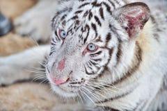 Biały tygrys Obraz Royalty Free