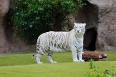 Biały tygrys - biały Bengal tygrys w zoo Fotografia Stock