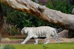 Biały tygrys - biały Bengal tygrys w zoo Fotografia Royalty Free