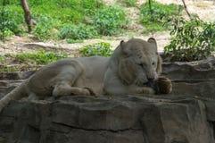 Biały tygrys je Fotografia Royalty Free