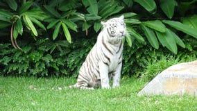 Bia?y tygrys zdjęcie stock
